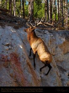 Elk Climbing Steep Slope, Gibbon River, Yellowstone National Park, Wyoming