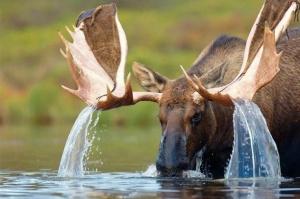 moose in lake